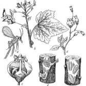 Боротьба з гризучими шкідниками смородини і агрусу