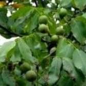 Формування крони волоських горіхів