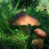 Як приготувати білі гриби: свіжі, сушені