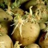Картопля, вирощена з паростків