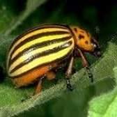 Колорадський жук - про ворога потрібно знати