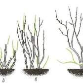 Обрізка, формування кущів смородини, агрусу