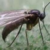 Огірковий комарик - хто такий?