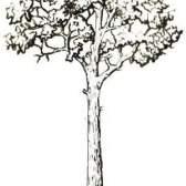 Іноземні породи дерев