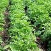 Найпоширеніші помилки при посадці картоплі