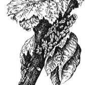 Сисні шкідники смородини, агрусу і способи боротьби