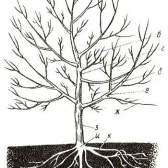Будова плодового дерева