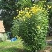 Топінамбур: вирощування і зберігання