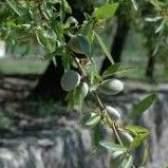 Умови для вирощування мигдалю