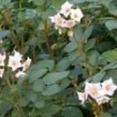Вороги картоплі в різні періоди росту рослини