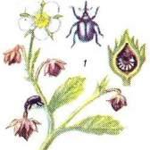 Шкідники і хвороби суниці