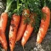 Вибір місця для моркви. Сорти
