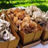 Вирощування грибів в парнику