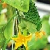 Вирощування розсади для ранніх огірочків