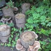 Вирощування гливи і шиїтаке на пнях