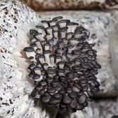 Вирощування глив в домашніх умовах