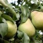 Захист яблуні, груші, сливи, вишні