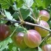 Захист смородини та агрусу, малини і суниці