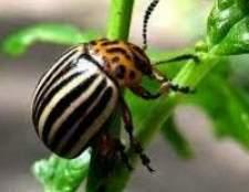 Як боротися з колорадським жуком ???