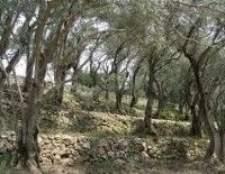 Як формувати крону маслини