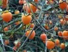 Як зберігати плоди хурми і захищати від захворювань рослини