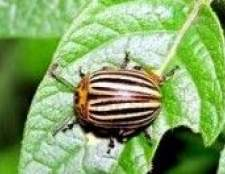 Як перемогти колорадського жука- збираємо 2-й урожай картоплі