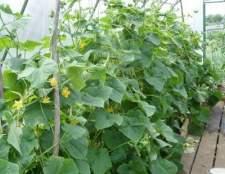 Як підвищити врожайність огірків