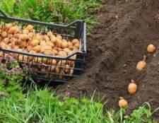 Як правильно садити картоплю