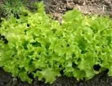 Як правильно сіяти салат, шпинат, кріп, редис