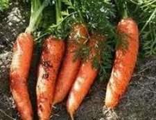 Як проростити насіння моркви