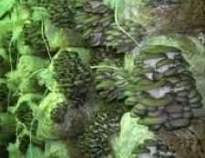Як проводиться інкубація грибів