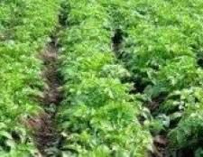 Як розводити картопля-посадка картоплі травою