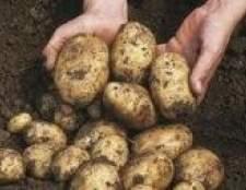Як садити картоплю різаними бульбами