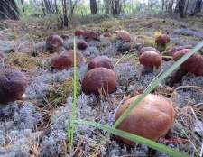 Як сіяти лісові гриби