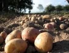 Як ущільнити картопля гарбузом і кормовим буряком