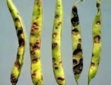 Як вирощувати боби- боротьба з їх шкідниками та хворобами