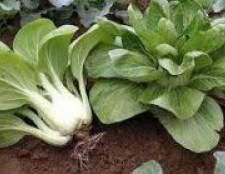 Як вирощувати свою ранню капусту