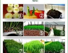 Як виростити салат, цибуля, кріп і петрушку в своїй теплиці: збірка корисних порад