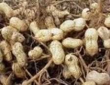 Як виростити свій арахіс в умовах середньої смуги?