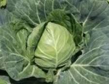 Як захистити капусту від шкідників і захворювань-прибирання
