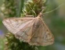Як захиститися від лучного метелика