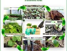 Особливості посадки огірків в теплицю з полікарбонату