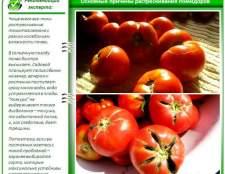 Чому тріскаються помідори в теплиці + огляд різних хвороб томатів