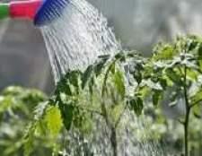 Поливати або не поливати помідори - ось в чому питання