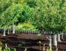 Сад на опідзолених глинистих ґрунтах