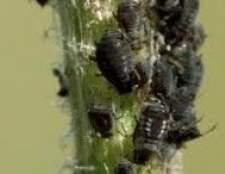 Бурякова листкова попелиця - що за воно