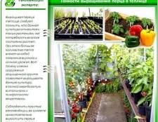 Технологія вирощування перцю в теплиці: всі премудрості в одному місці