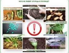 Догляд за огірками в теплиці: повний огляд всіх тонкощів «огурцової науки»