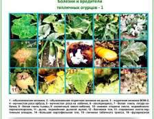 Шкідники і хвороби огірків в теплиці: огляд заходів по «боротьбі за здоров`я»