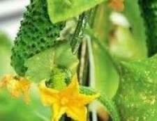 Вибір сорту, догляд за огірками, поради по збору врожаю